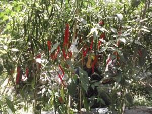 Pertumbuhan tanaman cabai yang diberi PGPR